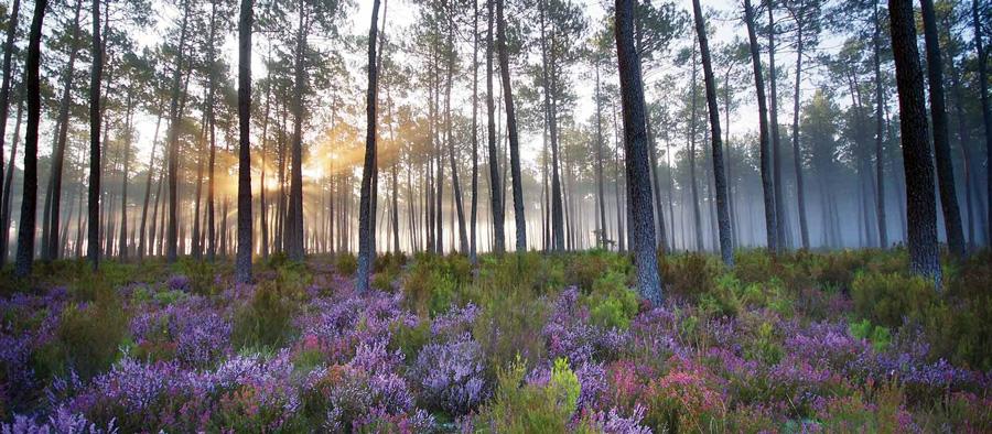 Biauréa-essence de la nature-forêt landaise
